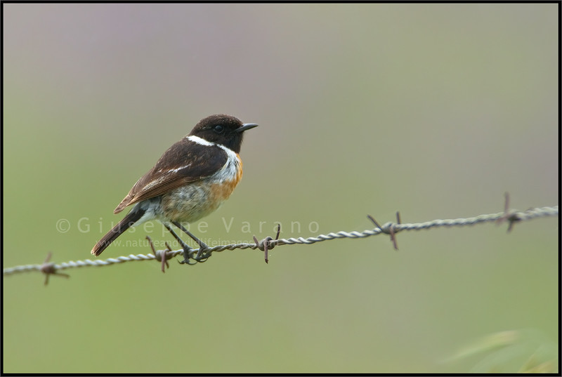 ( Common ) Stonechat ( Saxicola torquatus )  Extremadura - Spain  Giuseppe Varano - Nature and Wildlife Images - Birds and Nature Photography