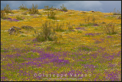 The steppe in bloom  Extremadura - Spain  Giuseppe Varano - Nature and Wildlife Images - Birds and Nature Photography