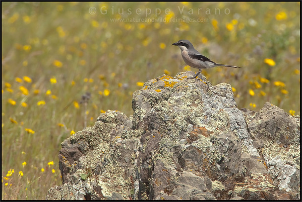 Great Grey Shrike ( Lanius excubitor )  Extremadura - Spain  Giuseppe Varano - Nature and Wildlife Images - Birds and Nature Photography