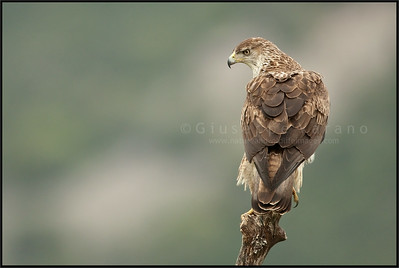 Bonelli's Eagle ( Hieraaetus fasciatus )  Extremadura - Spain  Giuseppe Varano - Nature and Wildlife Images - Birds and Nature Photography