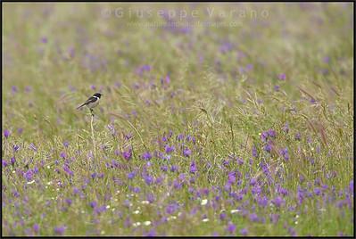( Common ) Stonechat ( Saxicola torquatus )  Extremadura - Spain  Giuseppe Varano - Nature and Wildlife Images - Birds and Nature Photography