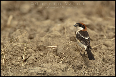 Woodchat Shrike ( Lanius senator )  Extremadura - Spain  Giuseppe Varano - Nature and Wildlife Images - Birds and Nature Photography