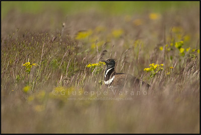 Little Bustard ( Tetrax tetrax )  Castilla La Mancha - Spain  Giuseppe Varano - Nature and Wildlife Images - Birds and Nature Photography