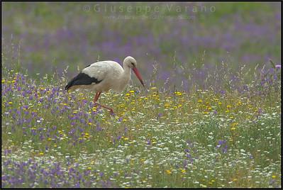 White Stork - ( Ciconia ciconia )  Extremadura - Spain  Giuseppe Varano - Nature and Wildlife Images - Birds and Nature Photography