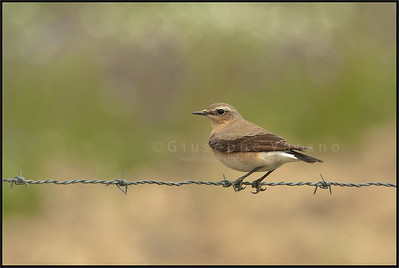 ( Northern ) Wheater ( Oenanthe oenanthe )  Extremadura - Spain  Giuseppe Varano - Nature and Wildlife Images - Birds and Nature Photography