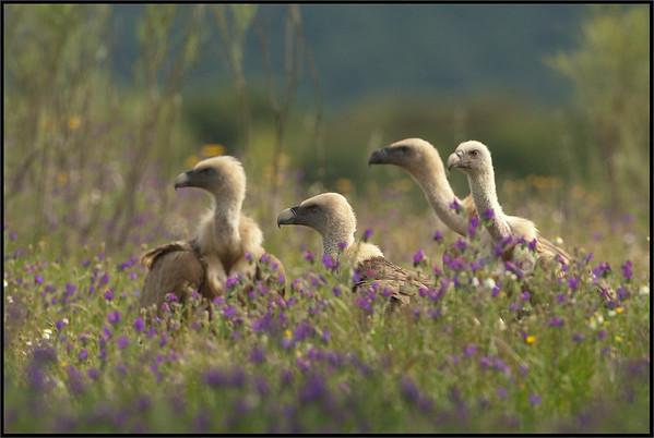 ( Eurasian ) Griffon Vultures - ( Gyps fulvus )  Extremadura - Spain  Giuseppe Varano - Nature and Wildlife Images - Birds and Nature Photography