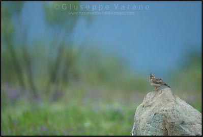 Crested Lark ( Galerida cristata )  Extremadura - Spain  Giuseppe Varano - Nature and Wildlife Images - Birds and Nature Photography
