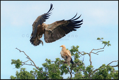 ( Eurasian ) Griffon Vulture - ( Gyps fulvus ) & Egyptian Vulture ( Neophron percnopterus )  Extremadura - Spain  Giuseppe Varano - Nature and Wildlife Images - Birds and Nature Photography