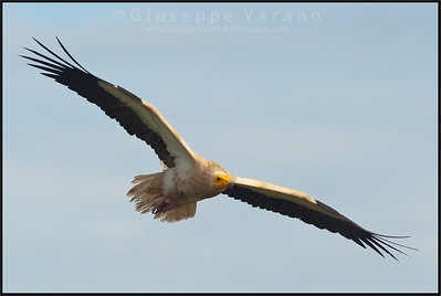 Egyptian Vulture ( Neophron percnopterus )  Extremadura - Spain  Giuseppe Varano - Nature and Wildlife Images - Birds and Nature Photography