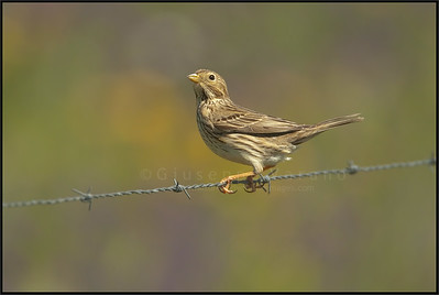 Corn Bunting ( Miliaria calandra )  Extremadura - Spain  Giuseppe Varano - Nature and Wildlife Images - Birds and Nature Photography