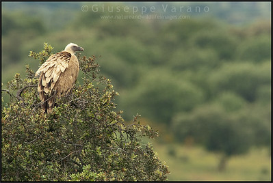 ( Eurasian ) Griffon Vulture - ( Gyps fulvus )  Extremadura - Spain  Giuseppe Varano - Nature and Wildlife Images - Birds and Nature Photography