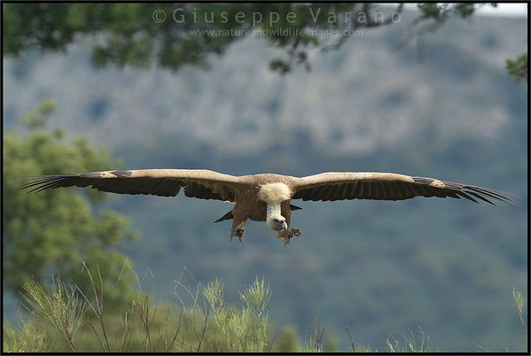 ( Eurasian ) Griffon Vulture - ( Gyps fulvus )  Extremadura - Spain  Giuseppe Varano - Nature and Wildlife Images - Birds and Nature Photography