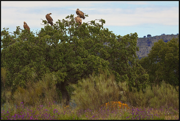 ( Eurasian ) Griffon Vultures - ( Gyps fulvus )  Extremadura - Spain  Giuseppe Varano - Nature and Wildlife Images - Birds and Nature Photography