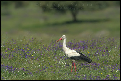 White Stork ( Ciconia ciconia )  Extremadura - Spain  Giuseppe Varano - Nature and Wildlife Images - Birds and Nature Photography