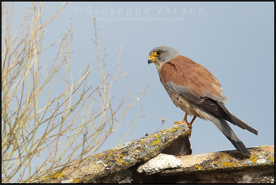 Lesser Kestrels ( Falco naumanni )  Castilla La Mancha - Spain  Giuseppe Varano - Nature and Wildlife Images - Birds and Nature Photography