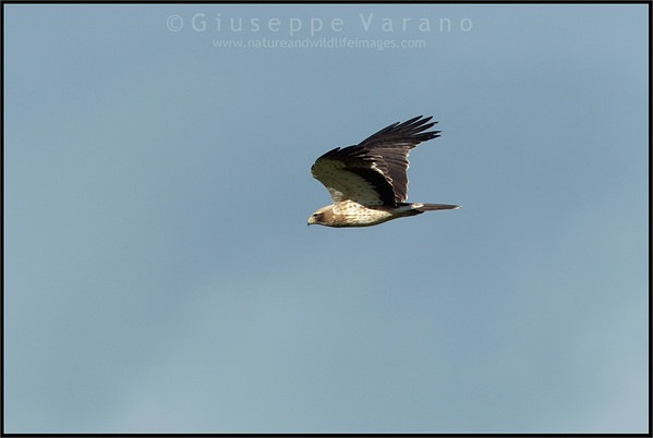 Booted Eagle ( Hieraaetus pennatus )   Extremadura - Spain  Giuseppe Varano - Nature and Wildlife Images - Birds and Nature Photography