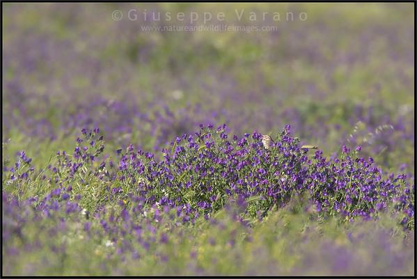 Corn Bunting ( Miliaria calandra )  Extremadura - Spain  Giuseppe Varano - Nature and Wildlife Images - Birds and Nature Photography