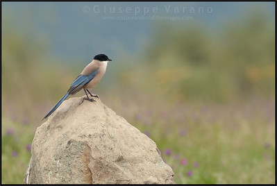 Azure-winged Magpie ( Cyanopica cyanus )  Extremadura - Spain  Giuseppe Varano - Nature and Wildlife Images - Birds and Nature Photography