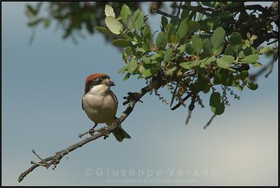 Woodchat Shrike ( Lanius senator )  Extremadura - Spain  Giuseppe Varano - Nature and Wildlife Images - Birds and Nature Photography