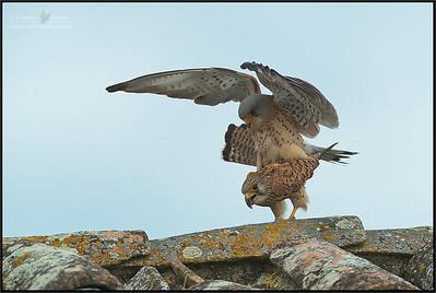 Lesser Kestrels ( Falco naumanni )  Castilla La Mancha - Spain  Giuseppe Varano - Nature and Wildlife Images - Birds and Nature Photography