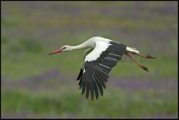 White Stork - ( Ciconia ciconia )  Extremadura - Spain  Giuseppe Varano - Nature and Wildlife Images - Birds and Nature Photography