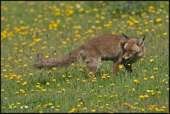 Red Fox ( Vulpes vulpes )  Monfrague National Park - Extremadura - Spain  Giuseppe Varano - Nature and Wildlife Images - Birds and Nature Photography