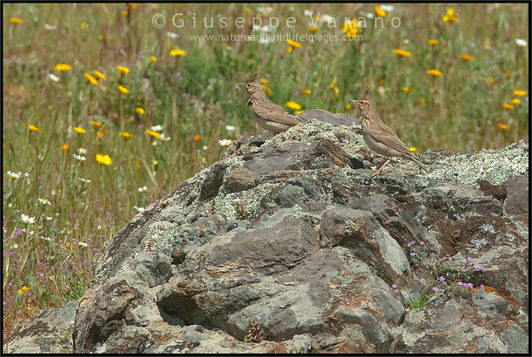 Crested Lark ( Galerida cristata )  Extremadura - Spain  Giuseppe Varano - Nature and Wildlife Images - Birds and Nature Photography