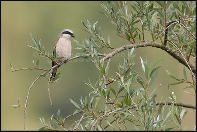 Red-backed Shrike ( Lanius collurio )  Extremadura - Spain  Giuseppe Varano - Nature and Wildlife Images - Birds and Nature Photography
