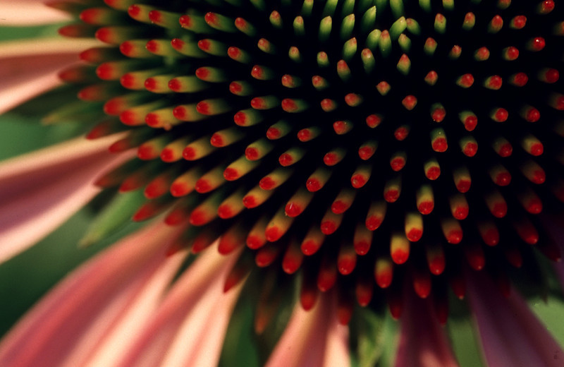 Purple Coneflower, Southbury, CT