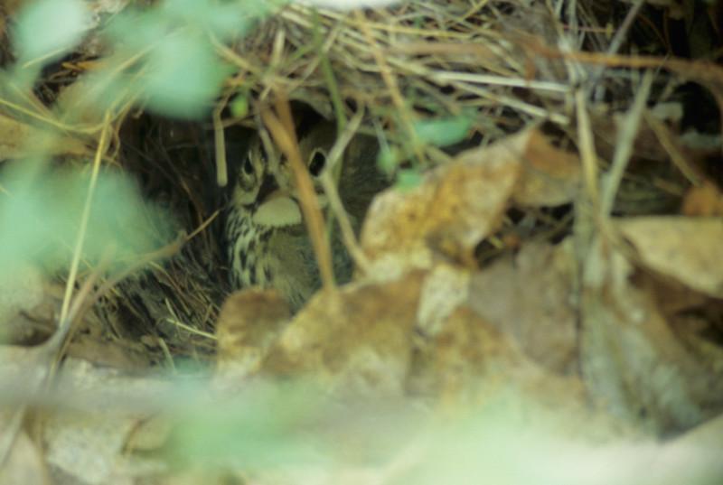 Ovenbird on Nest
