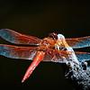 Flame Skimmer -- Libellula saturata