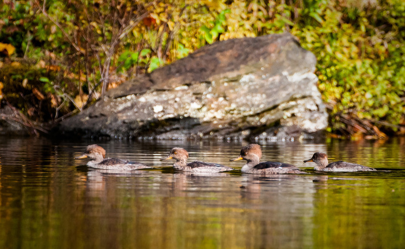 Hooded Mergansers (Juv & eclipse plummages)