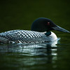 Common Loon -- Lake Mansfield, Vermont  June 2007