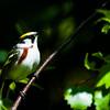 Chestnut-sided Warbler -- Vermont