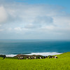 Holsteins near Outer Point Reyes, Pt Reyes National Seashore, CA  2009