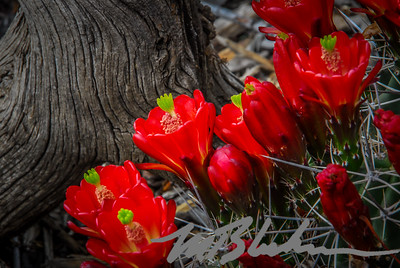 Claret Cup Red Cactus Flower