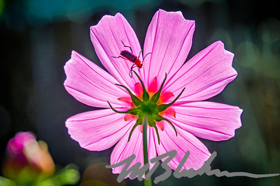 Pink Cosmos Flower and Bug