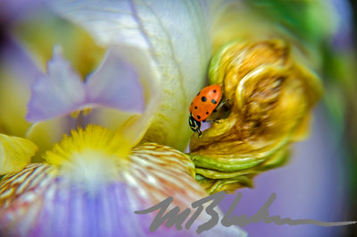 Lady Bug on Bearded Iris Flower