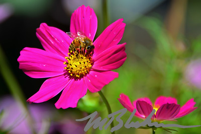 Honey bee on Pink Cosmos Flower
