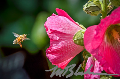 Pink Hollyhocks Attract Honey Bees