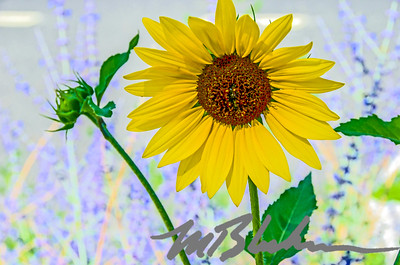 Sunflower and Stems
