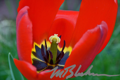 Red Tulip Closeup