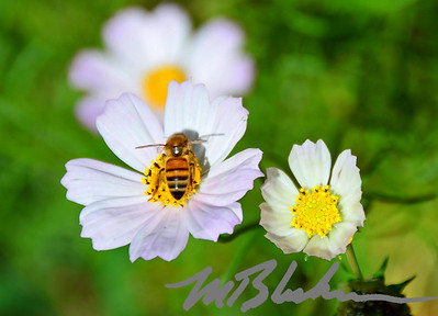Honey Bee On White Cosmos Flower