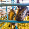 Goat, DuPage County Fair, Wheaton, Illinois