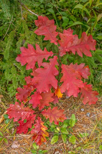 Red oak leaves in Dwight