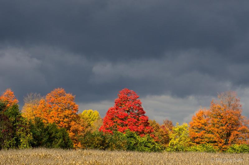 Maples under dark clouds near Guelph