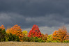 Maples under dark clouds near Guelph