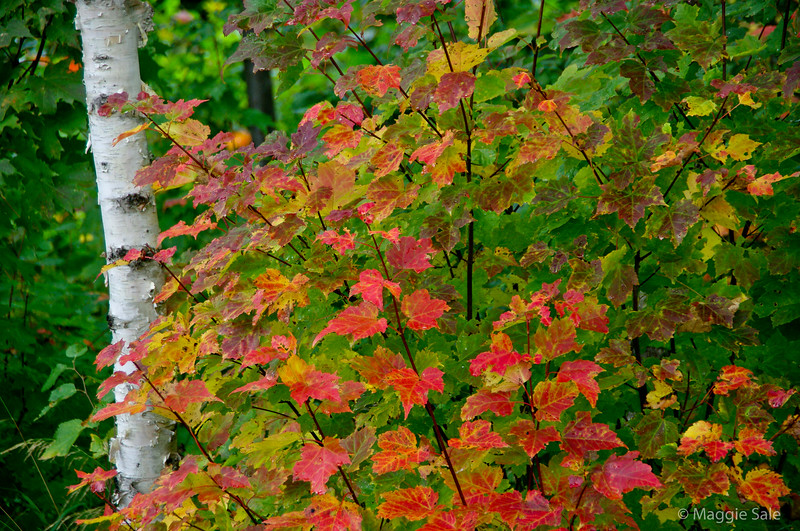Maple leaves and birch near Sault Ste. Marie