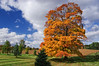 Maple tree near Guelph