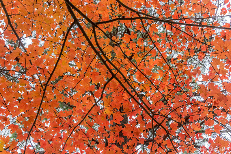 Maple on Limberlost trail